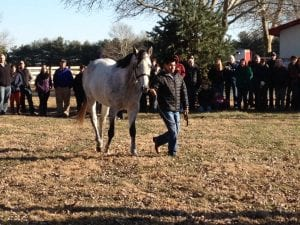 New sire Despite the Odds, a son of Speightstown, struts his stuff at the Heritage Stallions open house.  Photo The Racing Biz.