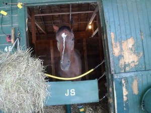 Razzle Jazil checked out the world in the days following his Saratoga win. Photo by Teresa Genaro.