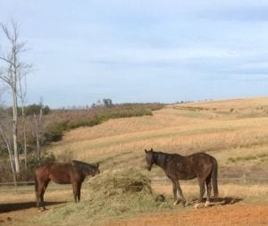 System Restore and Hermosillo in the field. Photo courtesy of War Horses at Rose Bower.