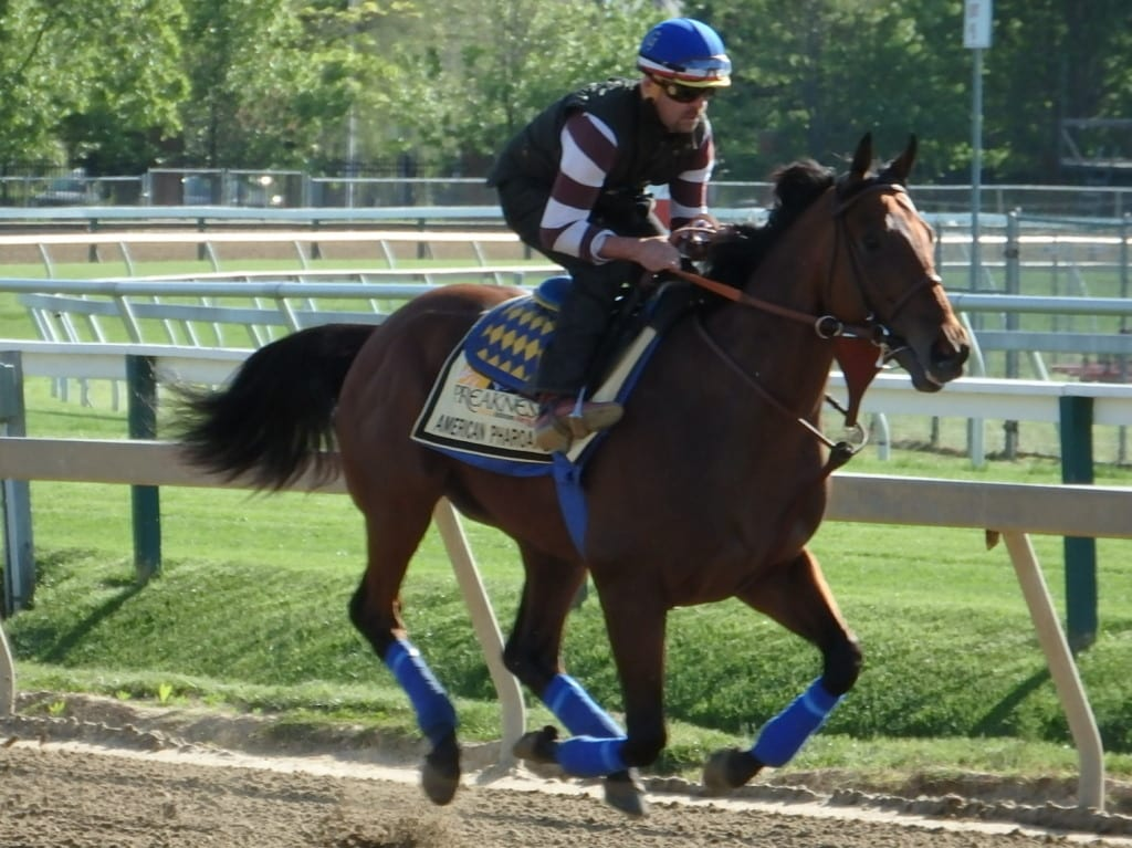 American Pharoah on the track at Pimlico. Photo by The Racing Biz.