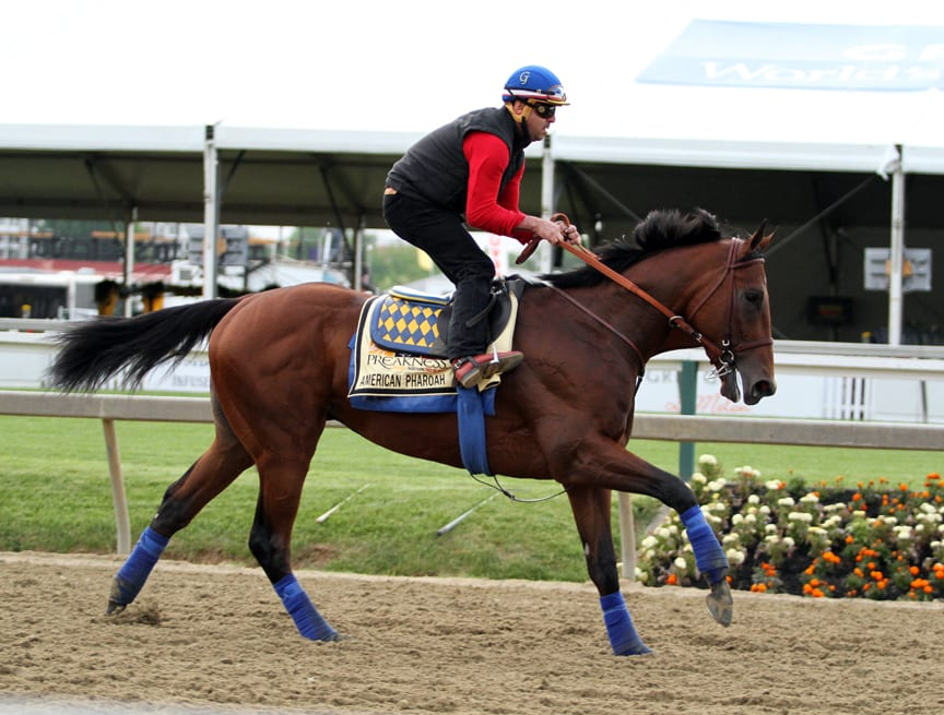 American Pharoah on the track at Pimlico on May 15. Photo by Laurie Asseo.