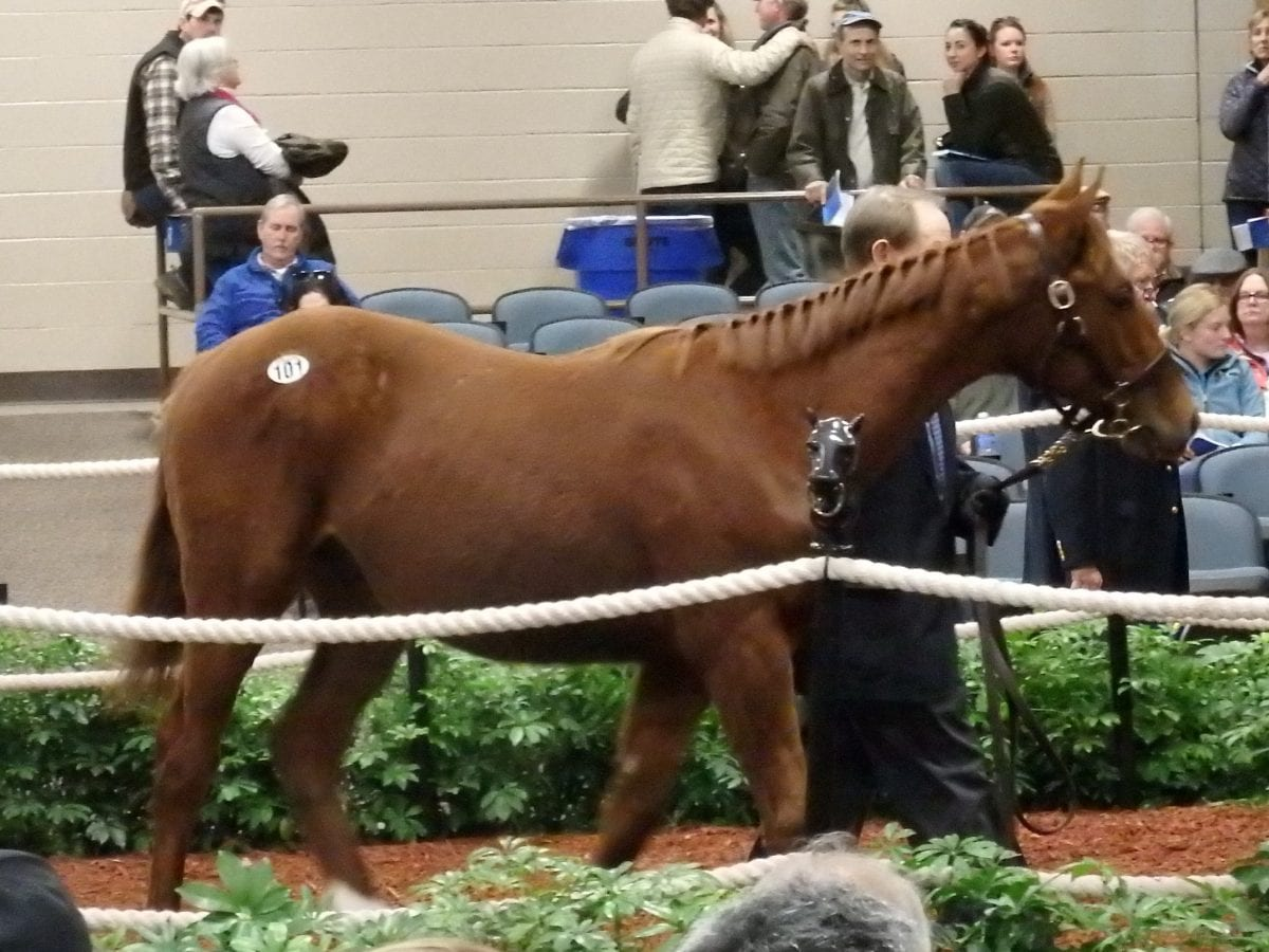 Hip 101, the sale-topping Curlin colt, brought a winning bid of $76,000. Photo by The Racing Biz.