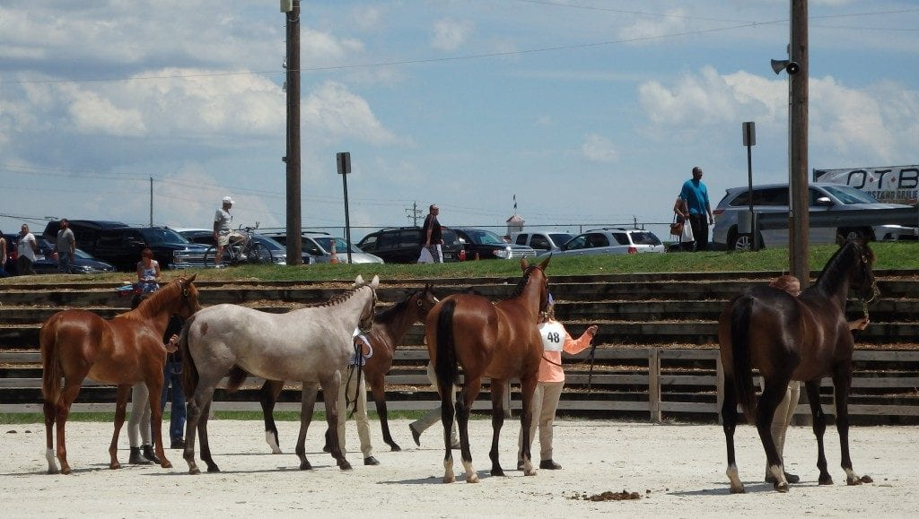 yearling show