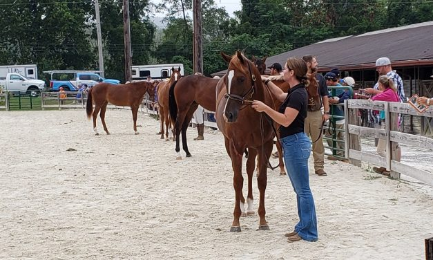 Fillies rule at MHBA Yearling Show